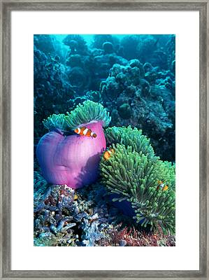 Ocellaris Anemonefish Framed Print by Georgette Douwma