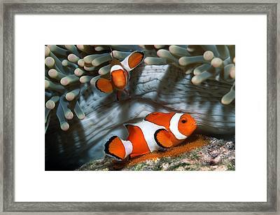 Ocellaris Anemonefish Laying Eggs Framed Print by Georgette Douwma