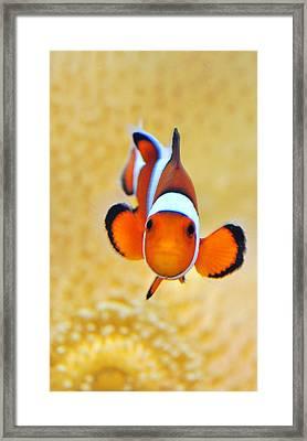 Ocellaris Clownfish Framed Print by Puzzles Shum