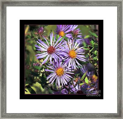 Odd Aster Out Framed Print by Darleen Stry