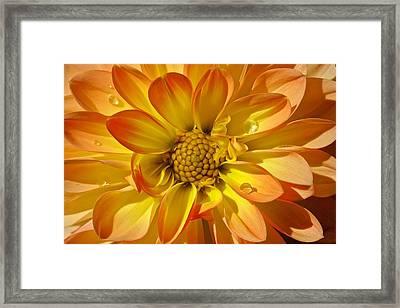 Oh Dahlia Framed Print by Scott Holmes