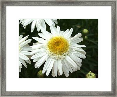 Framed Print featuring the photograph Oh Daisy by Carol Sweetwood