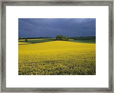 Oilseed Rape Crop (brassica Napus) Framed Print