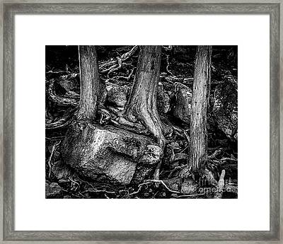 Old Cedar Framed Print by Perry Webster