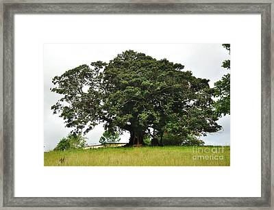 Old Fig Tree - Ficus Carica Framed Print by Kaye Menner