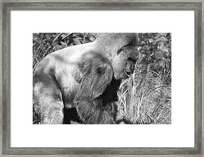 Old Grey Back Framed Print