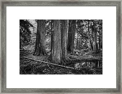 Old Growth Cedar Trees - Montana Framed Print by Daniel Hagerman