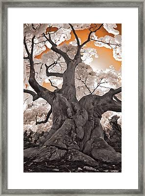 Old Japanese Maple Framed Print by Steve Zimic