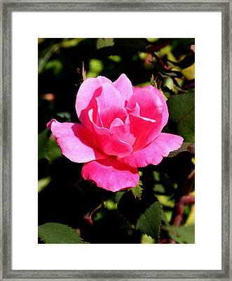 Old Towne Rose2 Framed Print