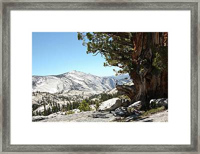 Old Tree At Yosemite National Park Framed Print by Mmm