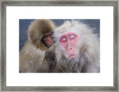 Older Snow Monkey Being Groomed By A Framed Print