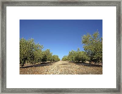 Olive Grove Framed Print by Carlos Dominguez