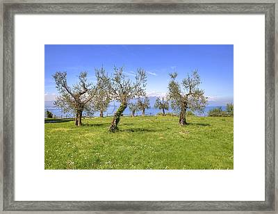 olive grove on Lake Gardan Framed Print