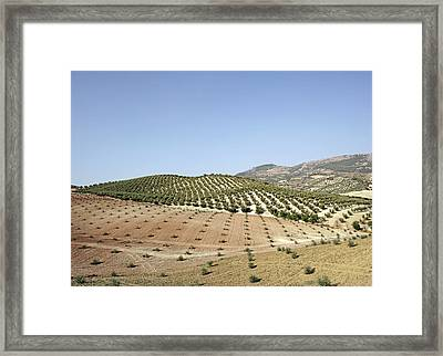 Olive Groves Framed Print by Carlos Dominguez