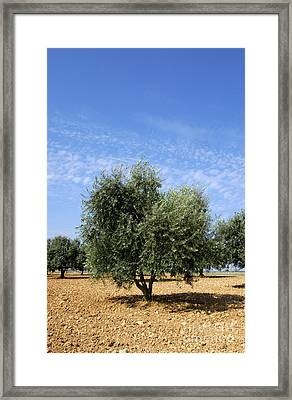 Olive Tree In Provence Framed Print by Bernard Jaubert