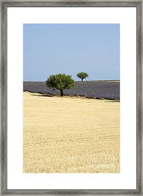 Olive Trees. Provence Framed Print