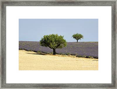 Olives Tree In Provence Framed Print