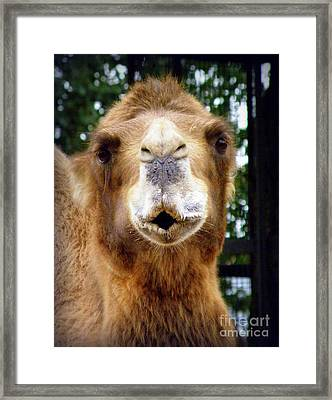 Omar The Camel Framed Print by Lainie Wrightson