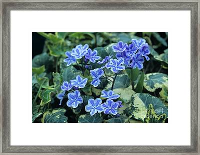 Omphalodes 'starry Eyes' Flowers Framed Print by Archie Young