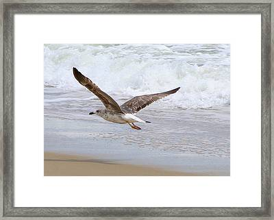 On The Wing At Nags Head Framed Print by Paula Tohline Calhoun
