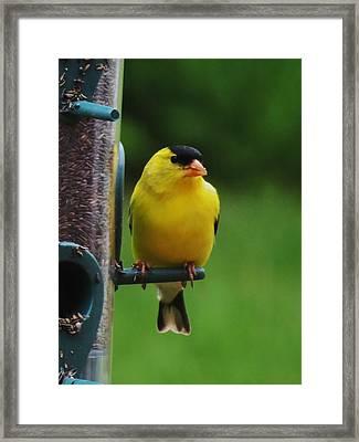 One Finch Framed Print by Vijay Sharon Govender