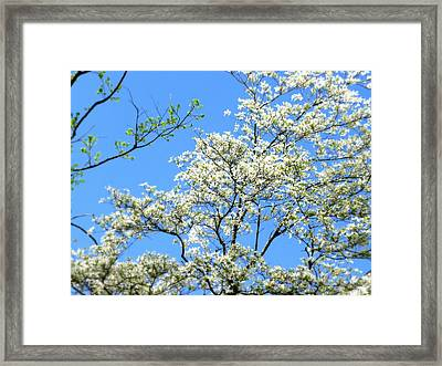 One More Blooming Dogwood Framed Print by Cindy Wright