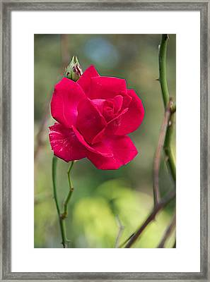 Framed Print featuring the photograph One Rose by Joseph Yarbrough
