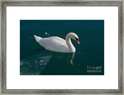 One Swan A-swimming Framed Print