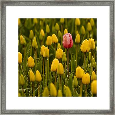 One Tulip Framed Print