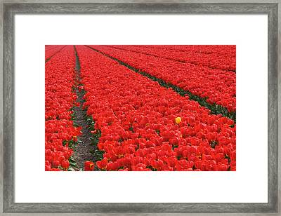 One Yellow Tulip Framed Print