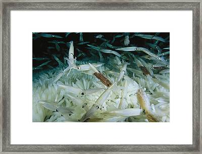 Opalescant Inshore Squid Lay More Than Framed Print by Brian J. Skerry