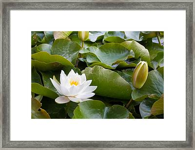 Open And Closed Water Lily Framed Print by Semmick Photo
