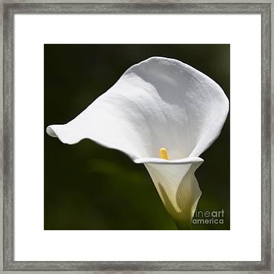 Open White Calla Lily V Framed Print by Heiko Koehrer-Wagner