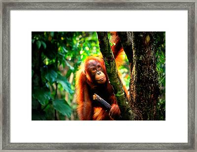 Framed Print featuring the photograph Orang-utan by Lynn Hughes