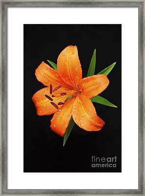 Orange Asiatic Lily Framed Print by Gordon Wood