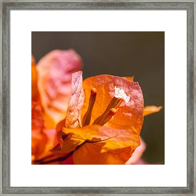 orange Bougainvillea Framed Print