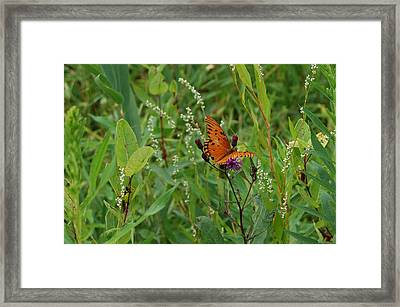 Orange Butterfly Framed Print by Beverly Hammond