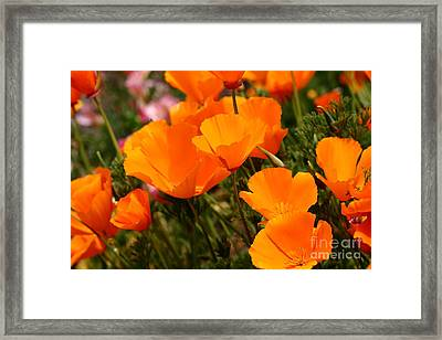 Orange California Poppy . 7d14754 Framed Print by Wingsdomain Art and Photography