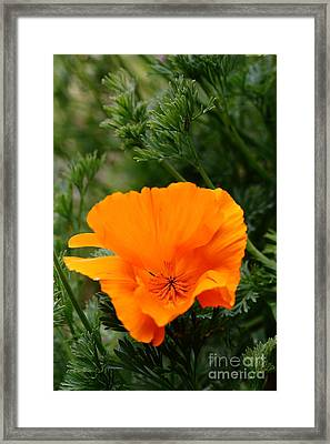 Orange California Poppy . 7d14778 Framed Print by Wingsdomain Art and Photography