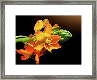 Orange Chincherinchee Framed Print