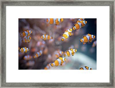 Orange Clown Fish In Water Framed Print by Www.jakovcordina.com