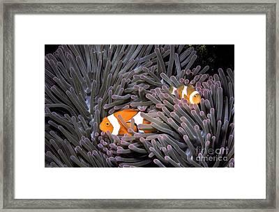 Orange Clownfish In An Anemone Framed Print by Greg Dimijian
