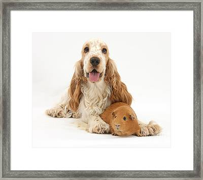 Orange Cocker Spaniel With Red Guinea Framed Print by Mark Taylor