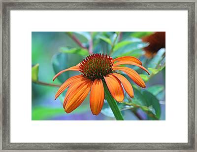Orange Coneflower Framed Print by Becky Lodes