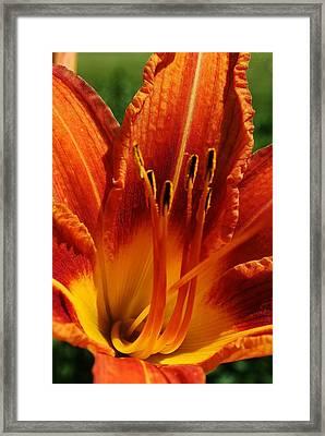 Orange Daylily Framed Print by Bruce Bley