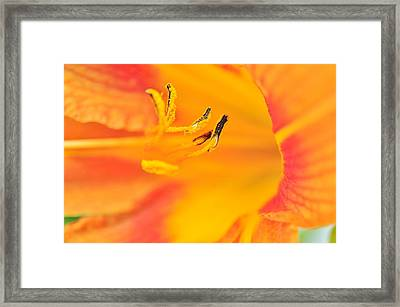 Framed Print featuring the photograph Orange Daylily  by Puzzles Shum