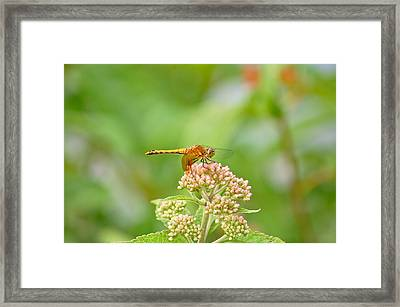 Framed Print featuring the photograph Orange Dragonfly by Mary McAvoy