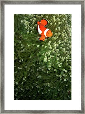 Orange Fish With Yellow Stripe Framed Print by Perry L Aragon