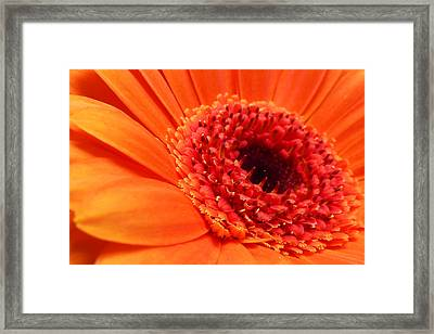 Orange Gerbera Close Up Framed Print