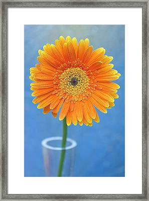Orange Gerbera Daisy  Propped In Glass Vase Framed Print by Photography by Gordana Adamovic Mladenovic